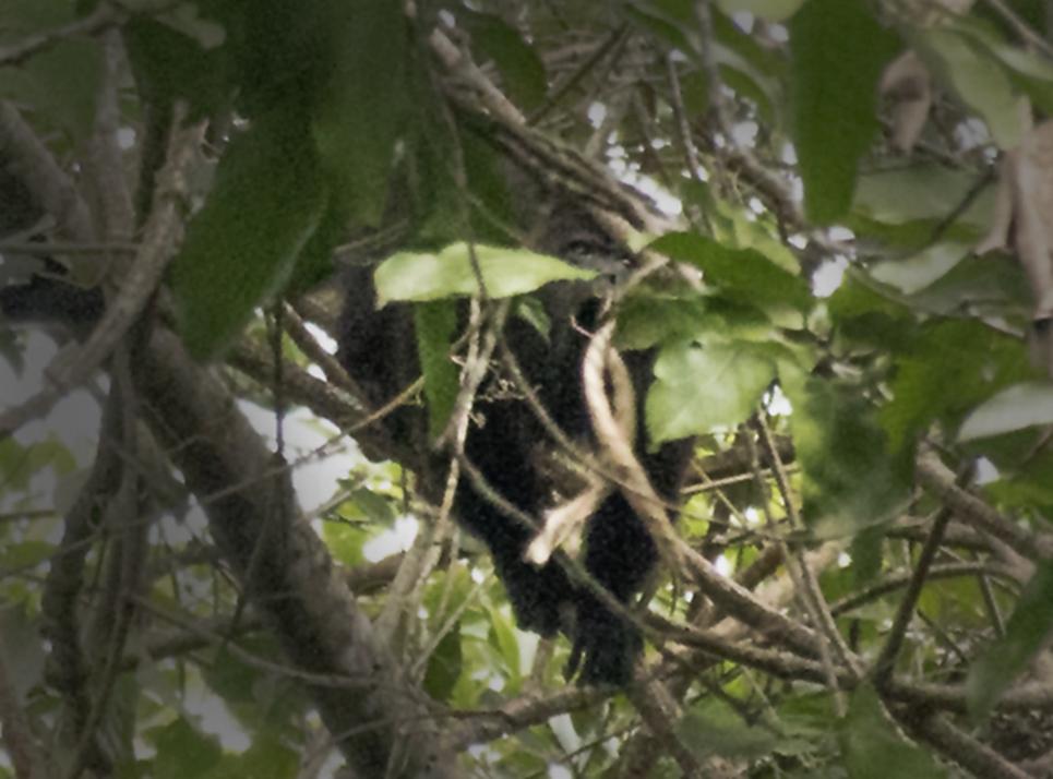 Howler monkey in mid-howl.