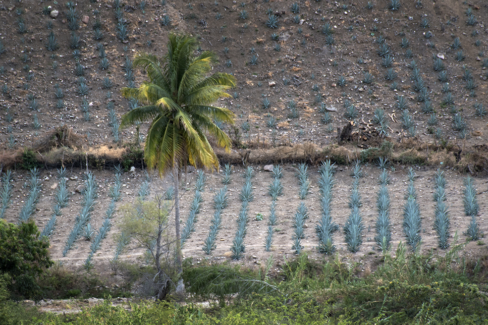 Agave plants from the bus window on the way to Oaxaca.
